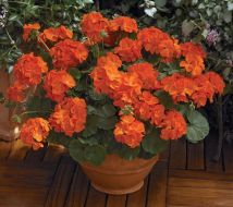 Maverick Orange (Geranium)