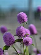 Ping Pong Lavender (Gomphrena)