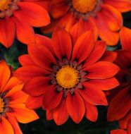 New Day Red Shades (Gazania)