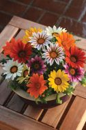 New Day Mix (Gazania)