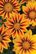 New Day Red Stripe (Gazania)