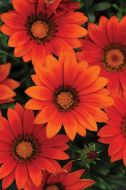 New Day Bronze (Gazania)