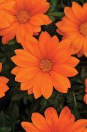 New Day Clear Orange (Gazania)
