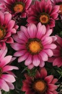 New Day Pink Shades (Gazania)