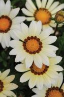 New Day White (Gazania)