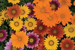 New Day Bright Mix (Gazania)