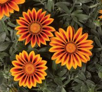 Kiss Frosty Orange Flame (Gazania)