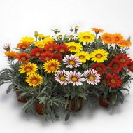 Kiss Frosty Mix (Gazania)