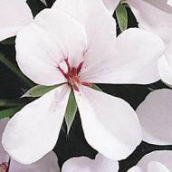 Summer Showers White Blush (Geranium/ivy)