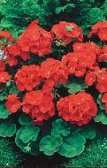 Landscaper Red (Geranium)