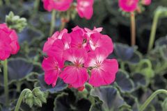 Black Velvet Rose (Geranium)