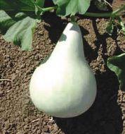 Martinhouse Bottle (Large Gourd)
