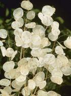 Biennis Alba (Lunaria)