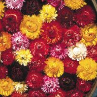 Finest Mixed (Helichrysum)