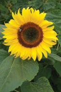 Mammoth Russian (Helianthus)