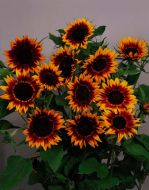 Ring of Fire (Helianthus)