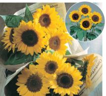 Sunrich Lemon (Helianthus)