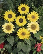 Pacino Mix™ (Helianthus)