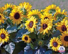 Suntastic Gold Yellow with Black Center (Helianthus)