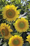 Summer Breeze (Helianthus/hybrid)