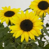 Sunbuzz (Helianthus/sterile)