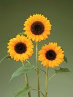Sunrich Orange DMR (Helianthus)