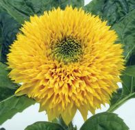 Teddy Bear (Helianthus)