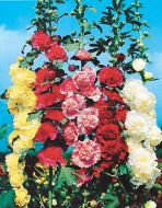 Summer Carnival Mixed (Hollyhock)