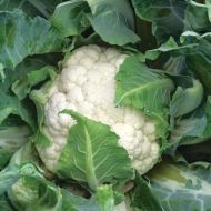 Casper (Cauliflower/main)