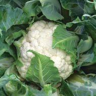 Casper (Cauliflower/main)