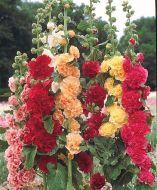 Chaters Double Triumph Mix (Hollyhock)