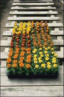 Bonanza Mix (Marigold/French)