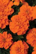 Bonanza Deep Orange (Marigold/French)
