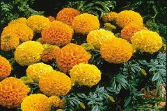 Antigua Mix (Marigold/African)