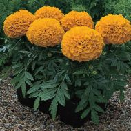 Antigua Orange (Marigold/African)