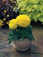 Proud Mari Yellow (Marigold/African)