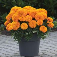 Marvel II Orange (Marigold/African)