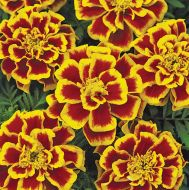 Durango Bee (Marigold/French)