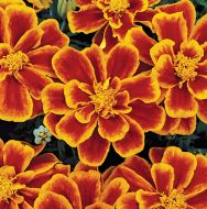 Durango Flame (Marigold/French)