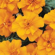 Durango Orange (Marigold/French)