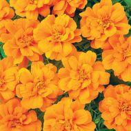Durango Tangerine (Marigold/French)