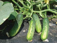 Puccini (Cucumber/pickling)