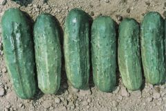 Fancipak (Cucumber/pickling)