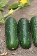 Supremo (Cucumber/pickling)