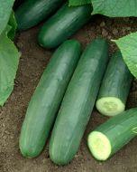Darlington (Cucumber/slicing)