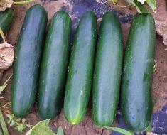 Bristol (Cucumber/slicing)