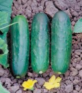 Zapata (Cucumber/pickling)