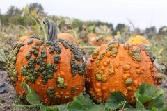 Warty Goblin (Hybrid Pumpkin)