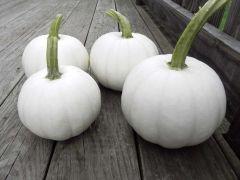 Blanco (Hybrid Pumpkin)