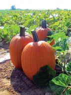 Ares (Hybrid Pumpkin)